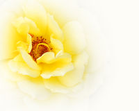 Yellow rose Royalty Free Stock Photos