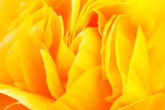 Yellow rose. Royalty Free Stock Photo
