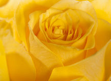 Yellow rose abstract Stock Image