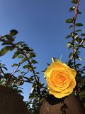Yellow rose against blue skies. Yellow rose on bush against blue skies in sunny garden royalty free stock image