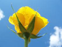 Yellow rose against blue sky with clouds Royalty Free Stock Images