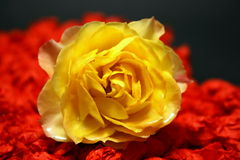 Yellow rose against red heart on black background Stock Image