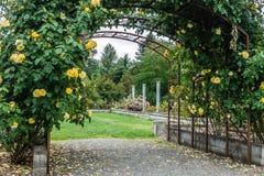 Yellow Rose Arbor. Yellow roses grow on an  arbor in Seatac, Washington Royalty Free Stock Photos