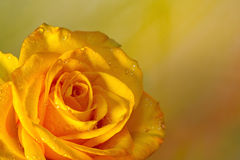 Yellow Rose Background. A beautiful yellow rose with water droplets positioned to the left side of the image frame, with room for copy on the right Royalty Free Stock Images