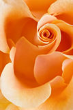 Yellow rose background Stock Photo