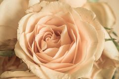 Yellow Rose Background. Yellow Rose getting dried out Stock Photo