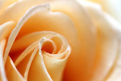 Yellow Rose Background Royalty Free Stock Photo
