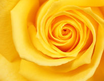 Yellow Rose. Background Stock Photo