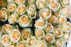 Yellow Rose Background, Close-Up of many pastel colored Roses Stock Photos