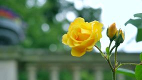 Yellow rose on the background of columns.  stock video footage