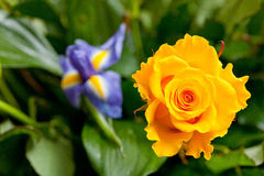Yellow rose. On a background of green leaves Stock Image