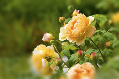 Yellow rose. Beautiful yellow rose on a green background Stock Photo
