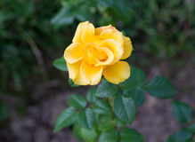Yellow rose. Beautiful yellow rose on a green background Royalty Free Stock Image