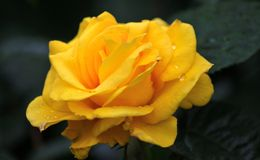 A yellow rose Stock Photography