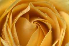 A yellow rose beauty Stock Photography