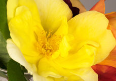 Yellow Rose Beauty Stock Photo