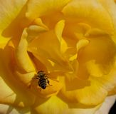 Yellow rose with bee Stock Image