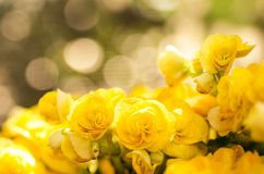 Yellow rose begonia flower Royalty Free Stock Images