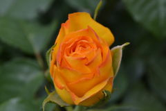 Yellow Rose. Big beautiful Yellow Roser in the wild Stock Image