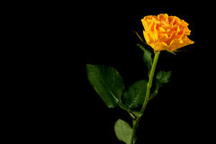 Yellow rose  on black Stock Photos