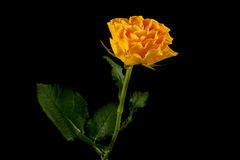 Yellow rose on black Royalty Free Stock Photography
