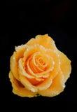 Yellow rose on black Stock Photo