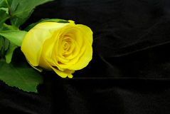 Yellow rose on the black