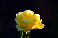 Yellow rose. On a black background Stock Images