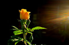 Yellow rose. On a black background Royalty Free Stock Photo