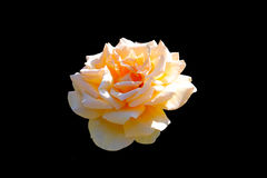 Yellow rose. On a black background isolated Royalty Free Stock Images