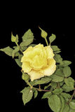 Yellow rose on a black background. Yellow rose after rain with drops on a black background Stock Photography