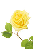 Yellow rose bloom Stock Photography