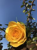 Yellow rose in bloom. Bright yellow rose in bloom with blue sky background stock photography