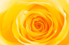 Yellow rose in bloom. Closeup of a yellow rose flower in bloom royalty free stock photo
