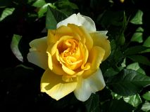 Yellow Rose In Bloom stock image