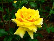 Yellow rose blooming Stock Photo