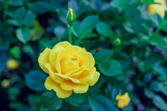 Yellow Rose Blooming in Garden Royalty Free Stock Photography