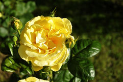 Yellow rose. Blooming yellow rose on a green background Stock Image