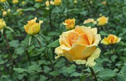 Yellow Rose. Blooming yellow rose in the city garden. Yellow rose on a background of green leaves stock photo