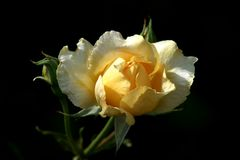 Yellow rose blossom in front of dark background Stock Photos