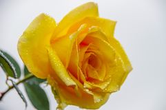 Yellow rose blossom with rain drops Stock Images