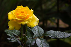 Yellow rose. An yellow rose blossom on a rainy day in chikmagalur of  India Royalty Free Stock Images