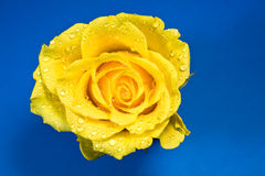 Yellow rose on blue background Stock Photography