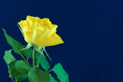 Yellow rose on blue Royalty Free Stock Image