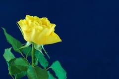 Yellow rose on blue. Single yellow rose on blue background Royalty Free Stock Image