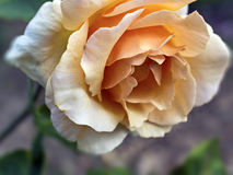 Yellow rose on a blurred background. Closeup of the Bud of a rose on blurred background Royalty Free Stock Photography
