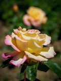 Yellow rose with a blurred background royalty free stock photos