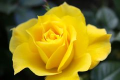 Yellow Rose. In a botanical garden Stock Image