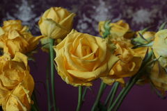 The yellow rose. Bouquet. Macro. The yellow rose. Macro. Bouquet Stock Photography