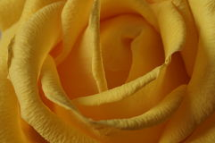 The yellow rose. Bouquet. Macro Stock Photos